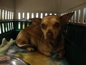 Adopt Cali On Dogs Animal Rescue Chihuahua Mix
