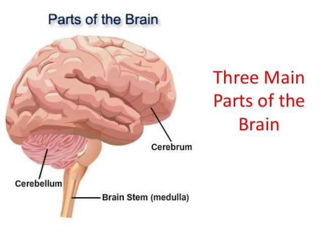 This Diagram Shows The Three Main Parts Of The Brain Which Are The