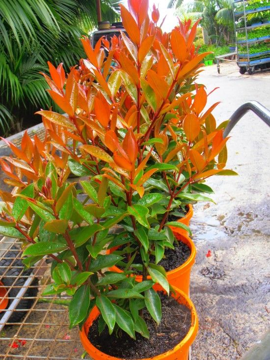 Fiji fire plants subtropical pinterest fiji plants and planting fiji fire thecheapjerseys Image collections