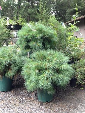 Dwarf Pine Trees For The Planter Area Toward The End Of The