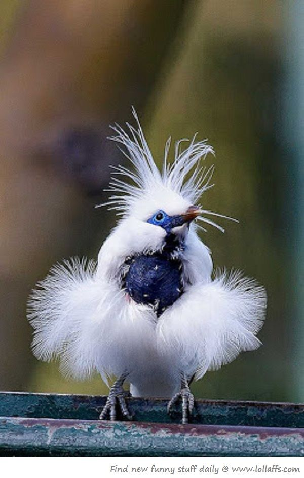Fancy Bird Oooohhhh! Love this one, Trish! Blue, white, and so fluffy!