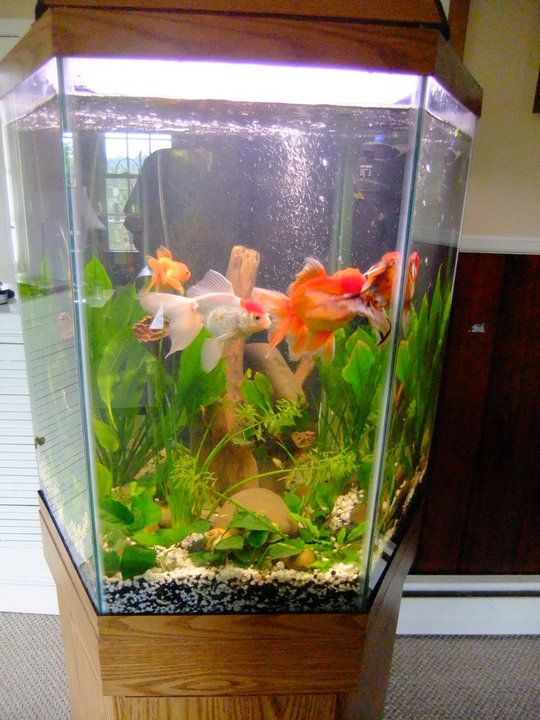 Fancy Fish Tanks far too small - overstocked - too many goldfish   aquarium