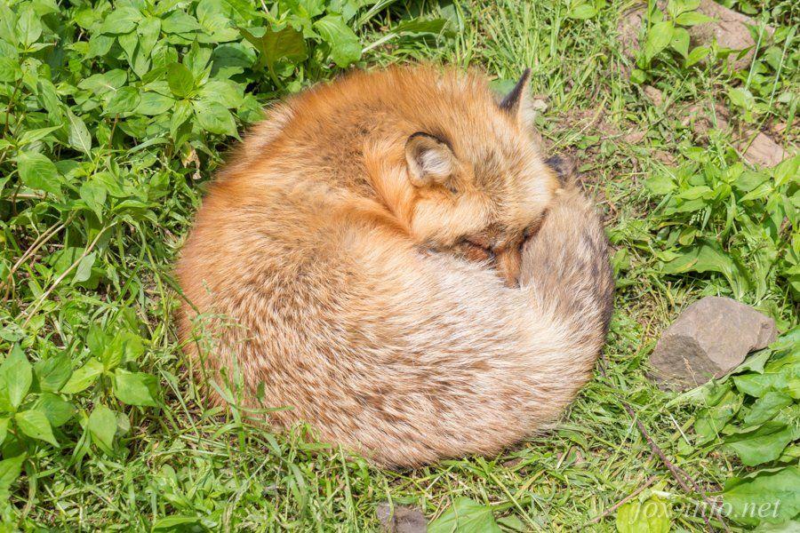 キツネ写真館@蔵王キツネ村公式提携中 в Твиттере: «Firefoxは起動していますが応答しません。 https://t.co/RHDTRG9rTC…