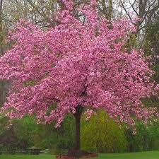 Japanese Cherry Spring Flowering Tree Deer Resistant Japanese Cherry Tree Backyard Trees Weeping Cherry Tree