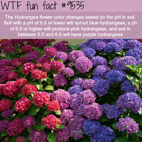 The Hydrangea Flower Wtf Fun Fact Fun Facts Funny Weird Facts Wtf Fun Facts