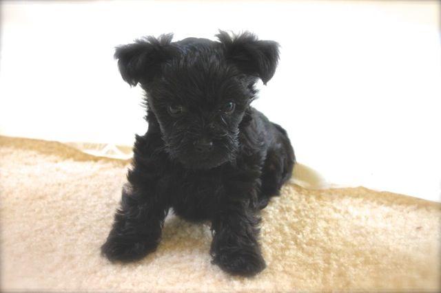 This Is Cooper My 6 Week Old Teacup Yorkie Poo He Is The Cutest