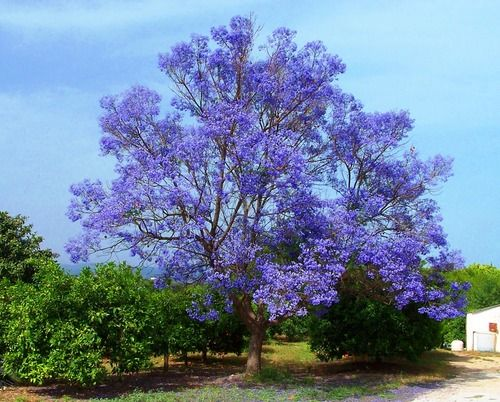 The blue tree. Flowery jacaranda among orange trees. Alhaurín de la Torre, Málaga