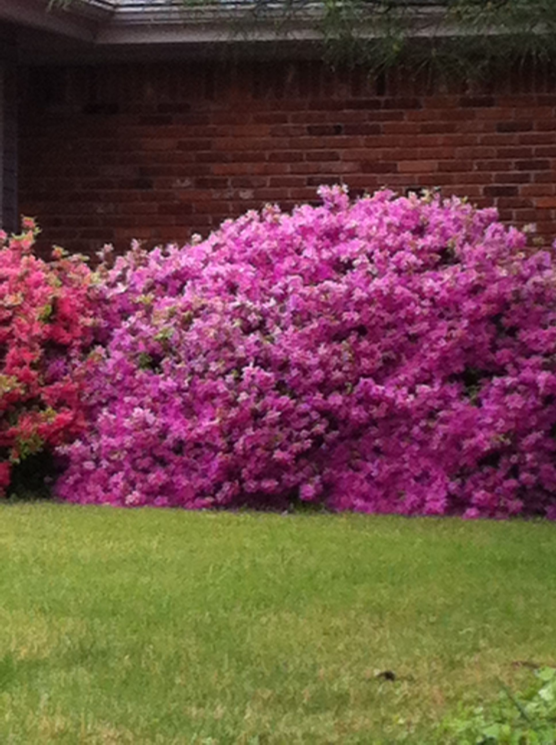 azaleas (With images) Trees to plant, Outdoor gardens