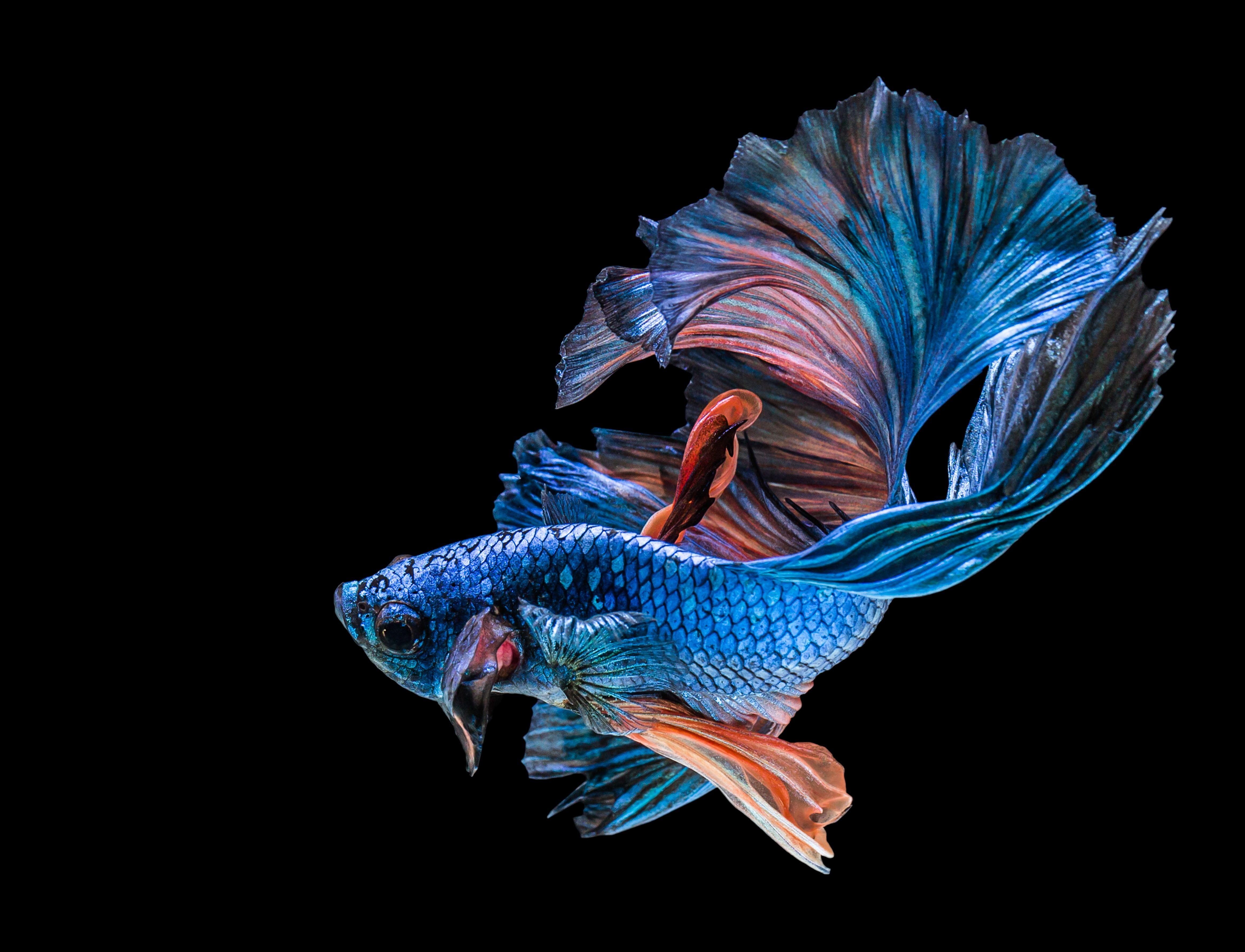 Blue Betta Fish Black Blue Fish 4k Wallpaper Hdwallpaper Desktop Betta Fish Betta Siamese Fighting Fish