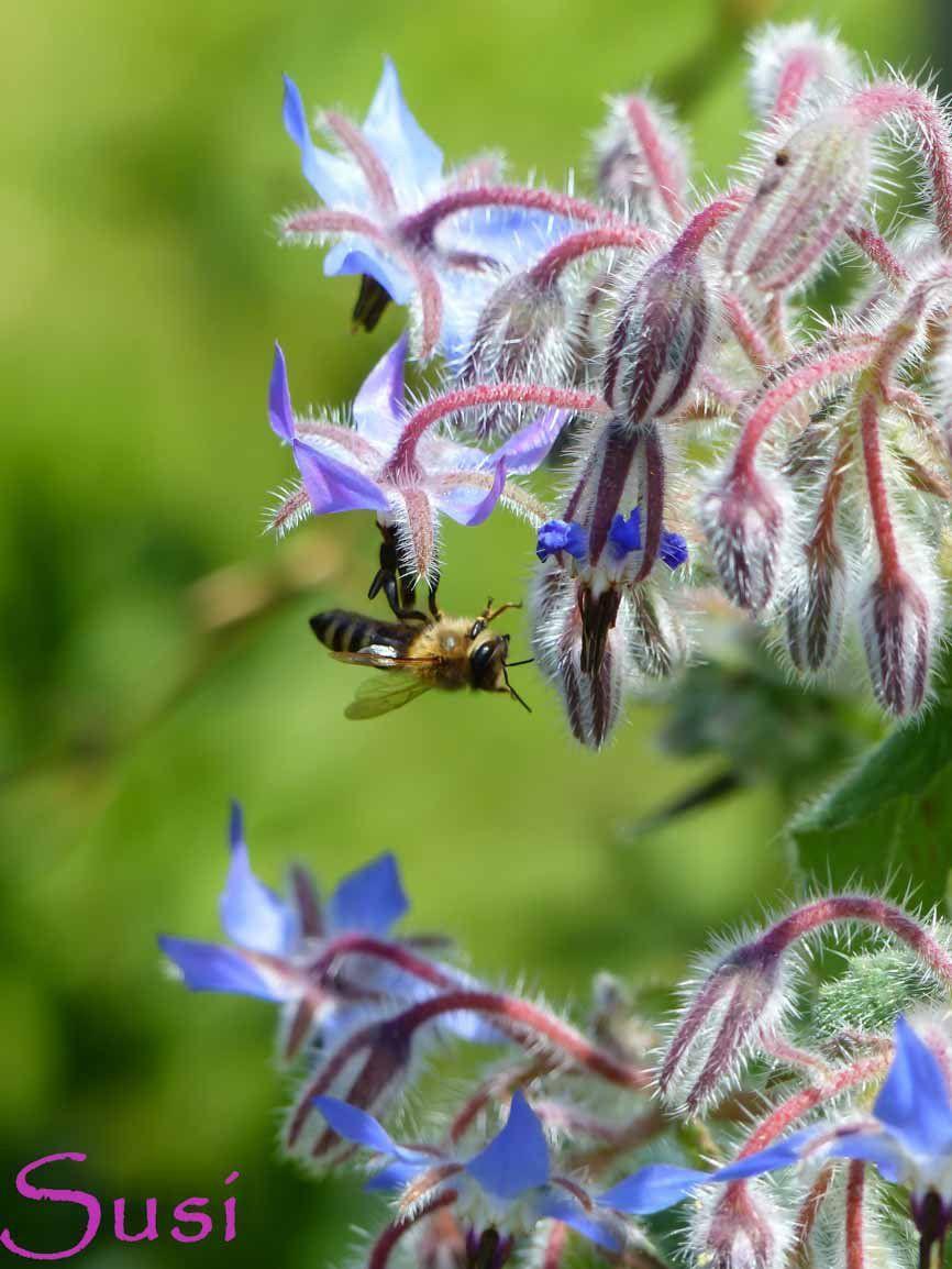 farben im juli | borretsch, bienen und lila, Gartengestaltung