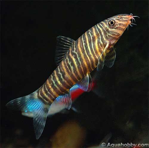 Peixe Botia Aquarium Fish Fresh Water Fish Tank Fish