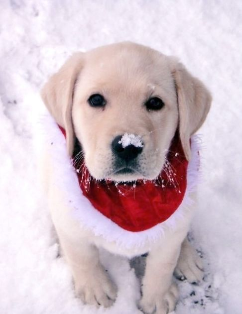 Tonik Furballs White Labrador Puppy Puppies Christmas Puppy