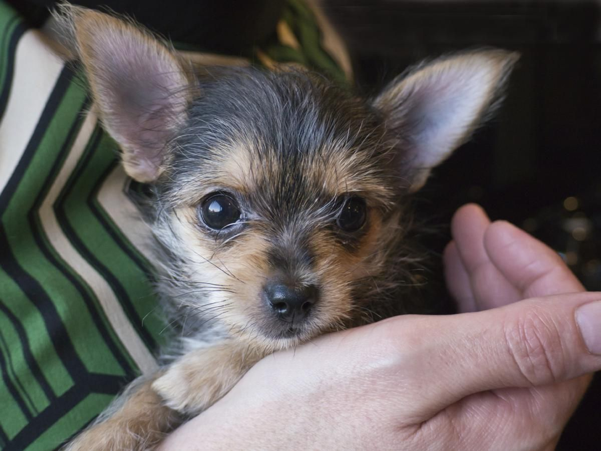 1 Month Old Chorkie Puppy Yorkie Chihuahua Mix Chihuahua Mix Puppies Yorkie Mix