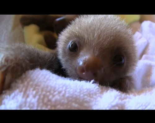 I want a pet sloth soooo bad!! Just look at his cute little face!! ;)