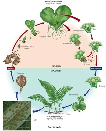 Fern Life Cycle Fern Life Cycle Human Body Biology Parts Of A Flower