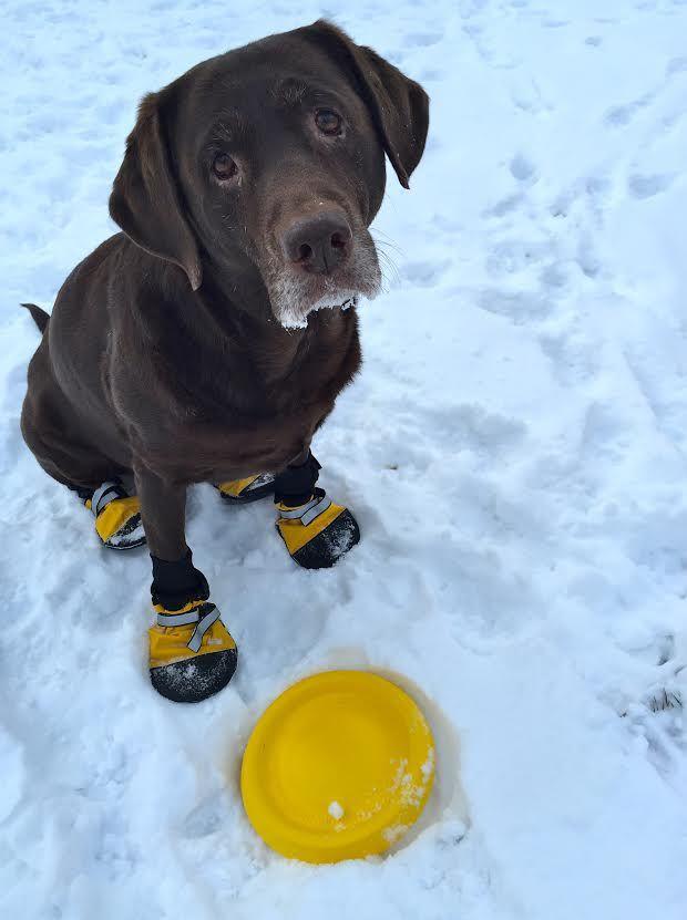 Meet Rio The Adorable Canadian Labrador Retriever Who Finally