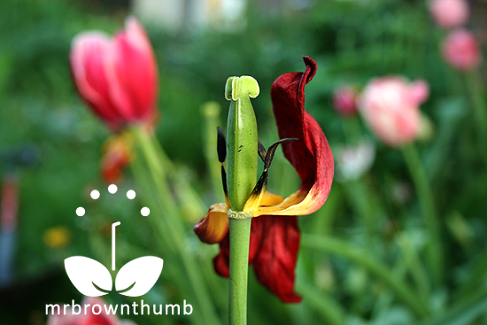 Caring For Tulips After Blooming Tulip Care Tulip Seeds Tulips