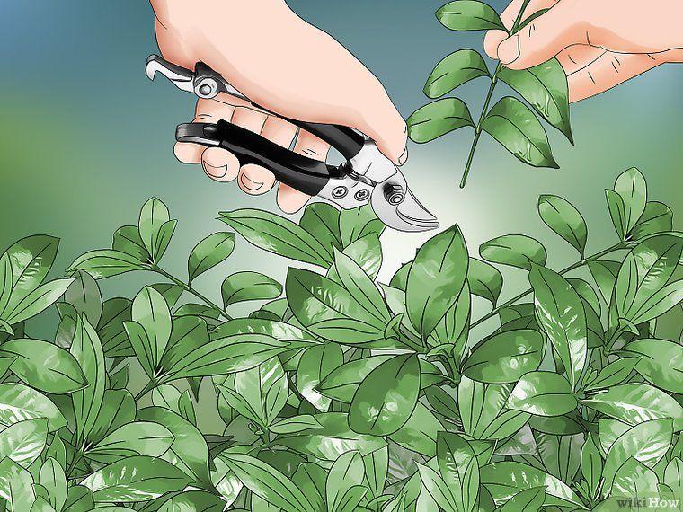 How To Prune A Gardenia Bush Gardenia Bush Butterfly Garden Design Gardenia