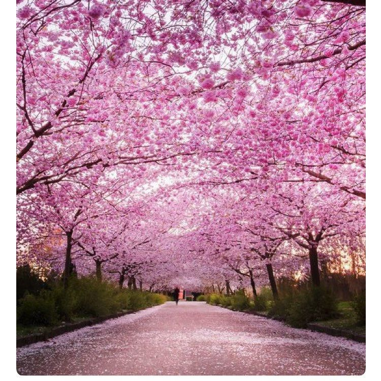 If You Ve Missed The Sakura Season In Japan Worry No More Because You Can Celebrate Spring At The Spring Wallpaper Cherry Blossom Pictures Nature Backgrounds