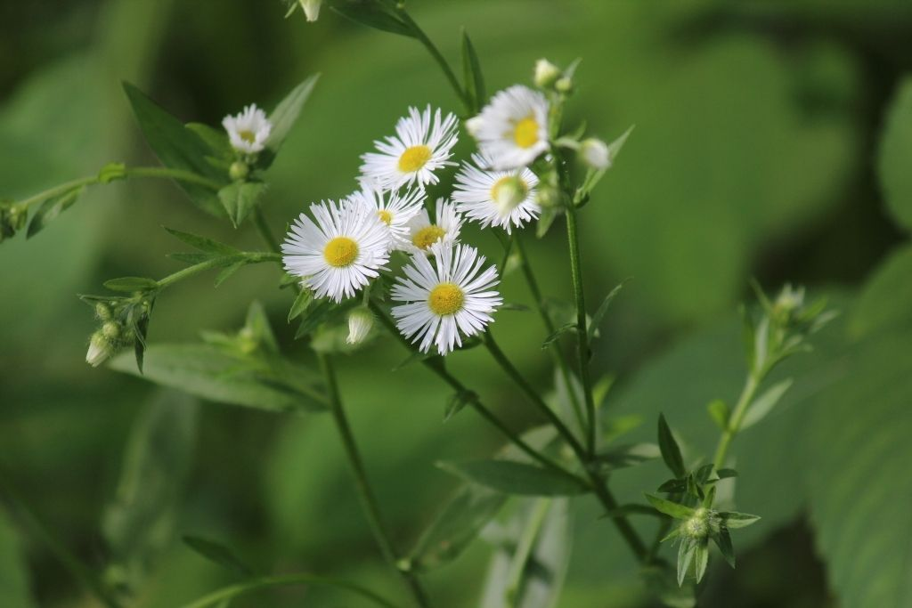 white flower with yellow center weed
