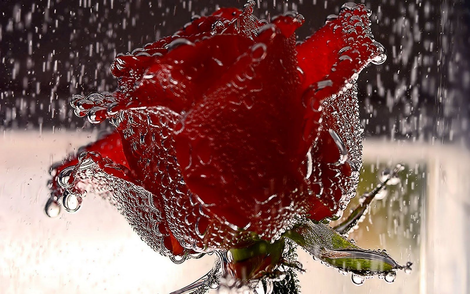 The Most Beautiful Flower Wallpapers Of The World In The Rain