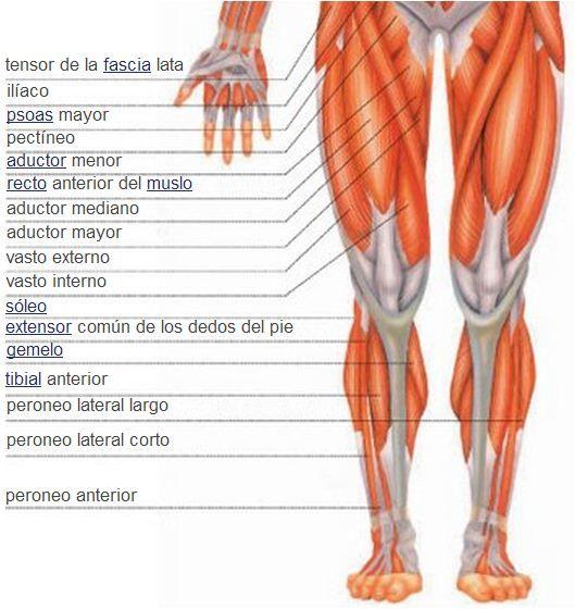 Sistema muscular | Músculos de la pierna | Vista anterior