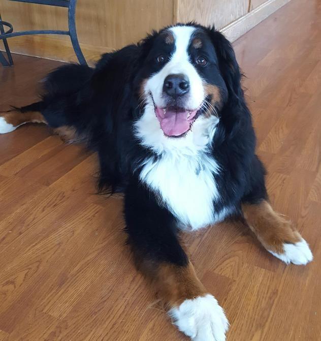 Bernese Mountain Dog Rescue