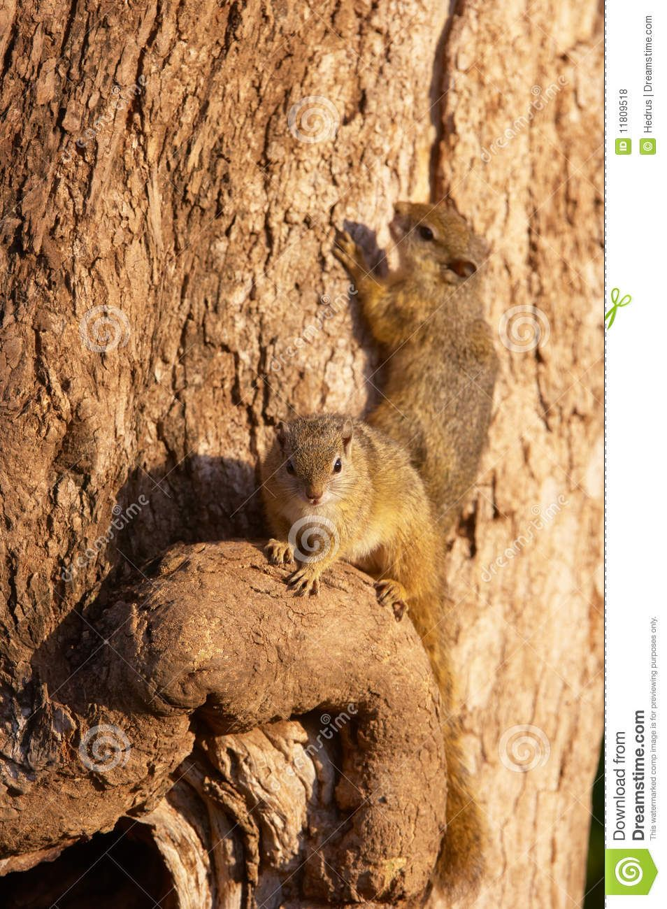 The Tree Squirrel (Paraxerus cepapi) is primarily vegetarian. Description from dreamstime.com. I searched for this on bing.com/images