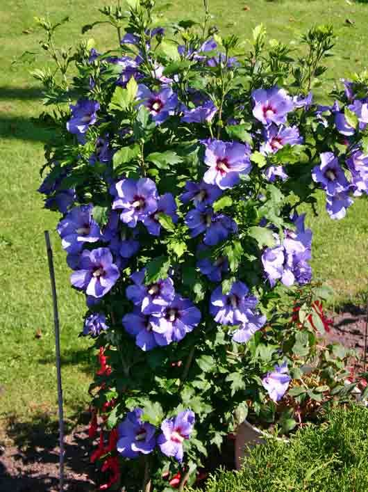 Imgs For > Bluebird Rose Of Sharon