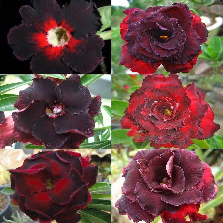 US2.24 55 Egrow 5Pcs/Pack Brown Black Desert Rose Seeds