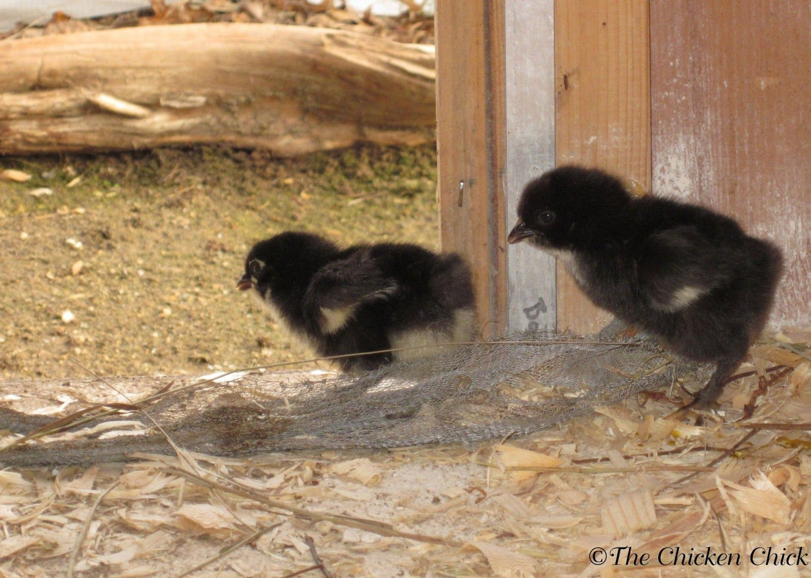 when to move from brooder to chicken coop nest box coops