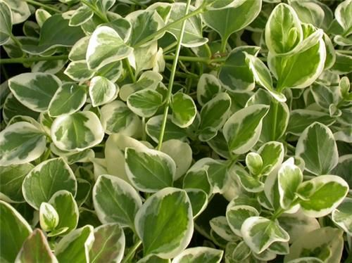Variegated Shade Plants Shade Landscaping Plants Shade Plants