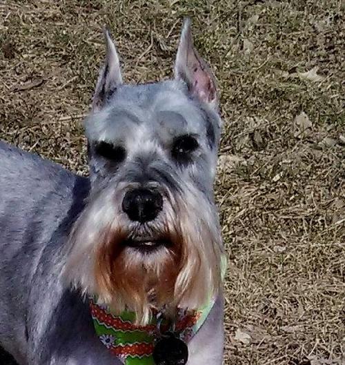 Meet Jimmy John a Petfinder adoptable Schnauzer Dog