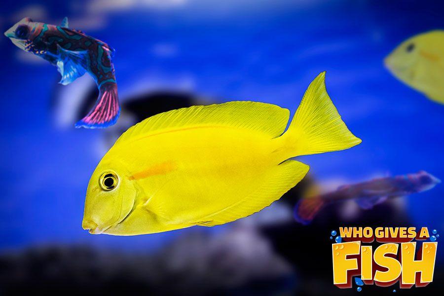 Yellow Angelfish Who Gives A Fish Fish Angel Fish Marine Fish