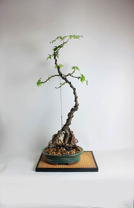 "Chinese Sweetgum Bonsai Tree ""Theatrical collection, Spring 2017"" from LiveBonsaiTree by LiveBonsaiTree on Etsy"