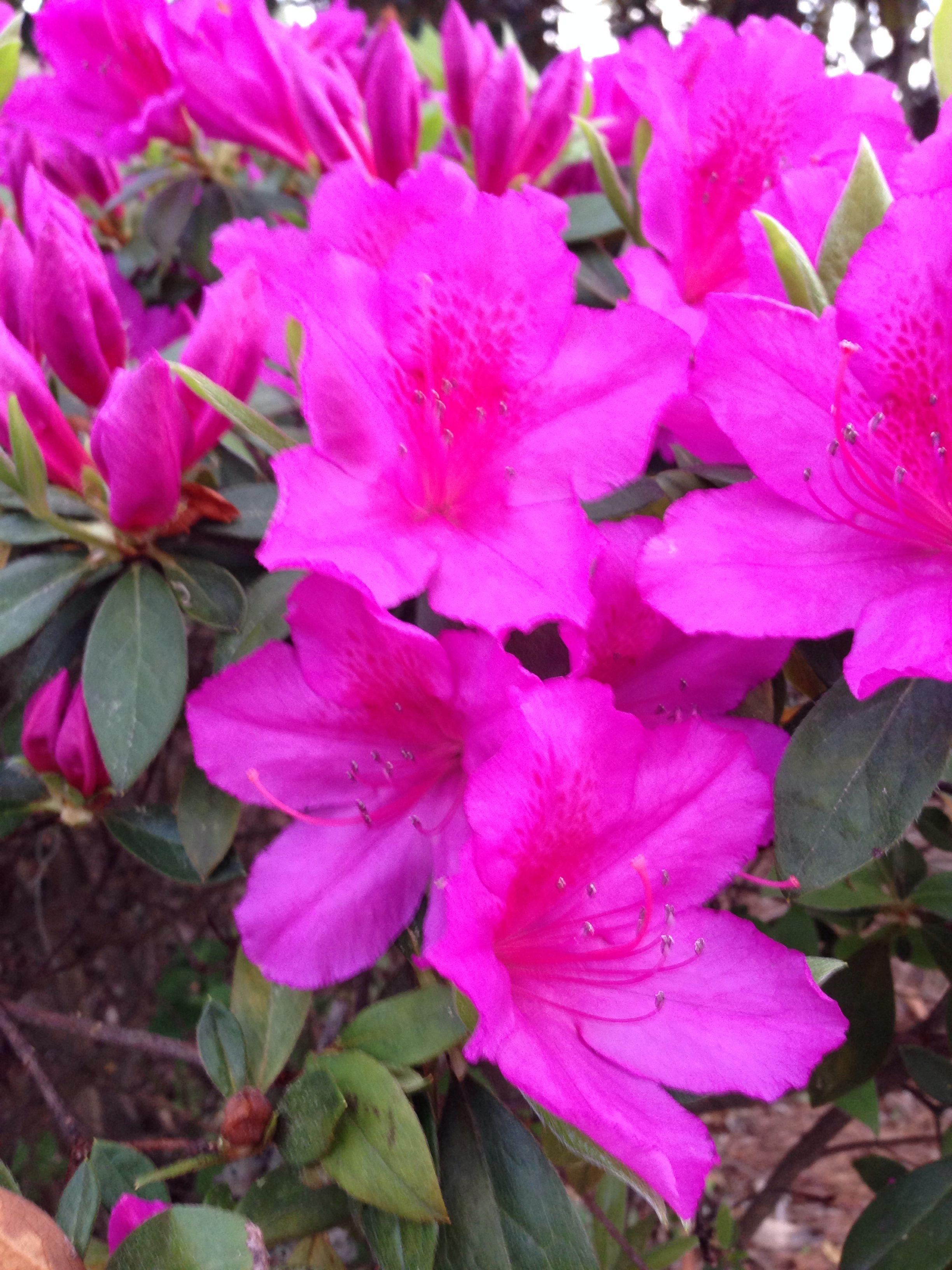 Spring time on Daufuskie Island SC... Azaleas in bloom