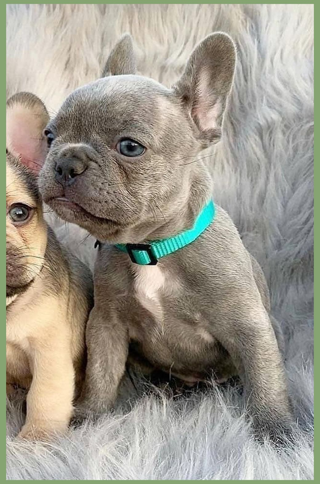 Jump To The English Boston Bulldog Puppies Before You Buy