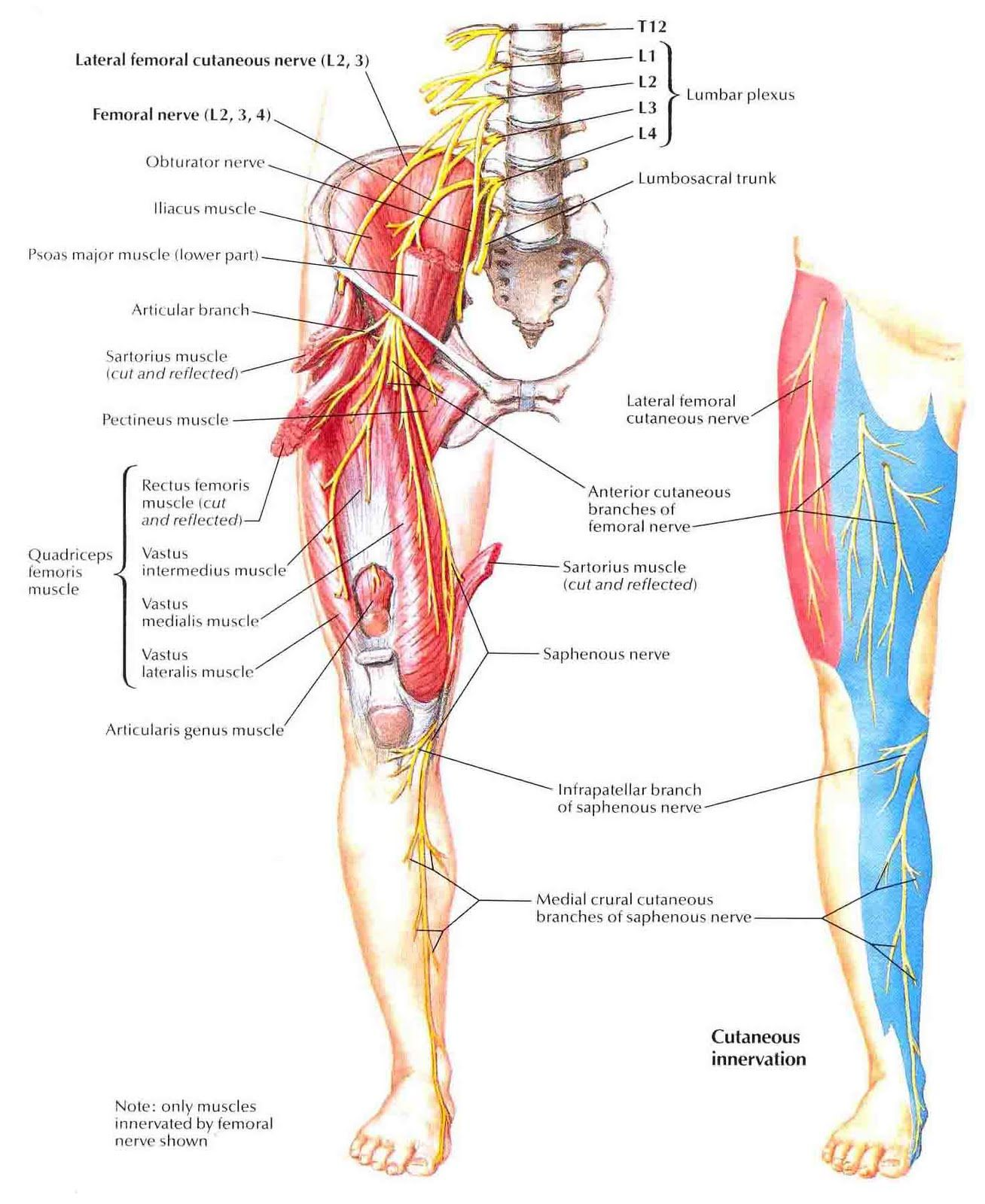 Anatomical Location Of The Femoral Nerve Source Pa Anatomy