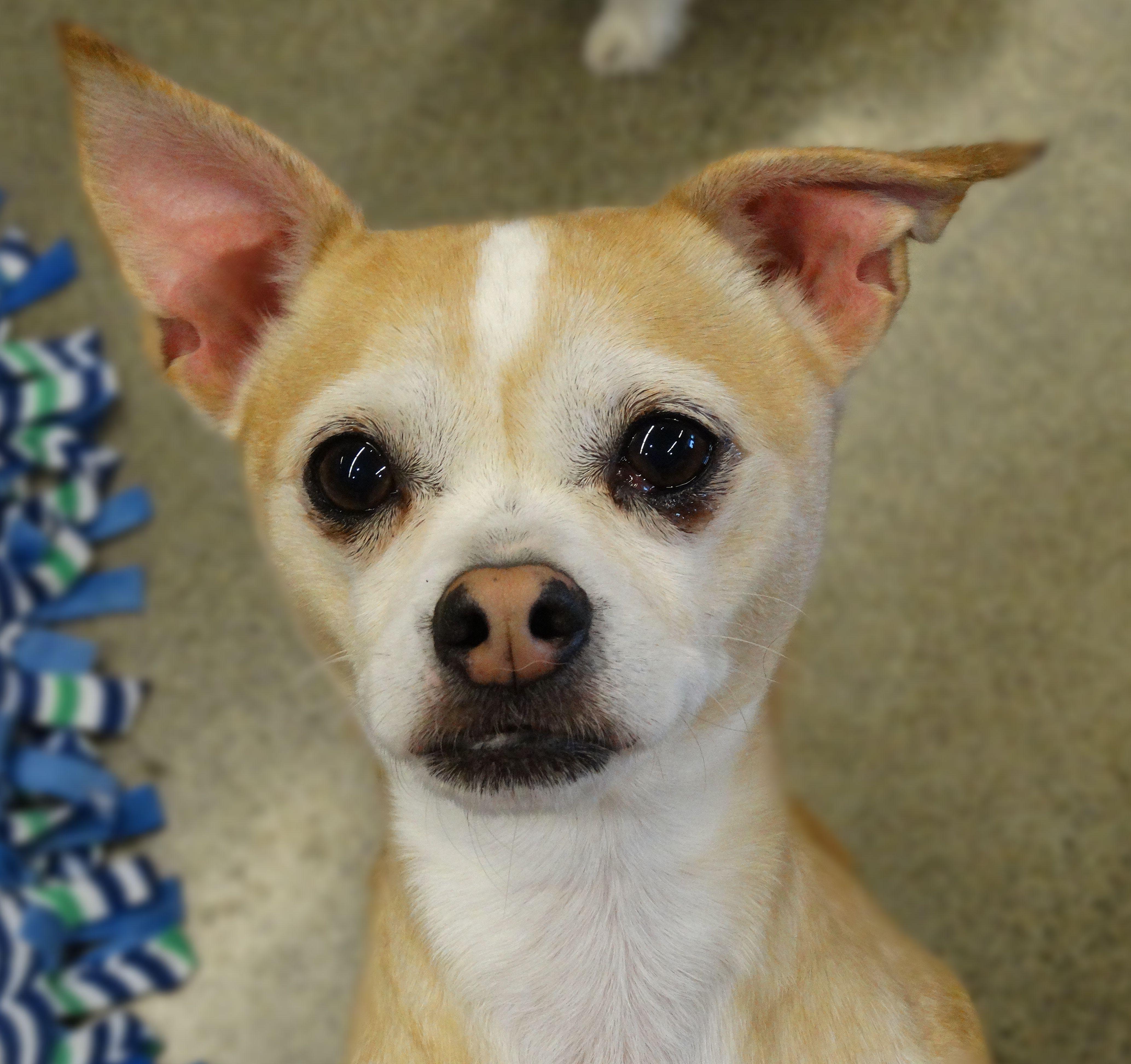 Chihuahua Dog For Adoption In Tacoma Wa Adn 529010 On
