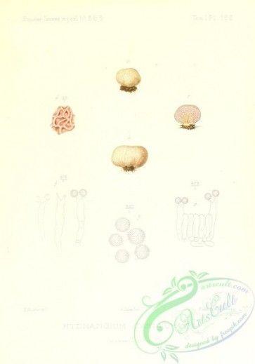 Mushrooms 02539 Hydnangium Carneum 2431x3471 Vintage
