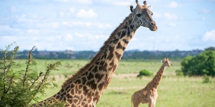 Nairobi National Park, Kenya, Africa