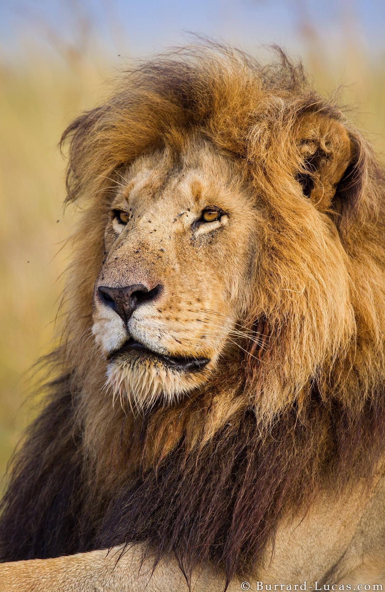Lion. #Africa is where humanity was nurtured into existence and as ...