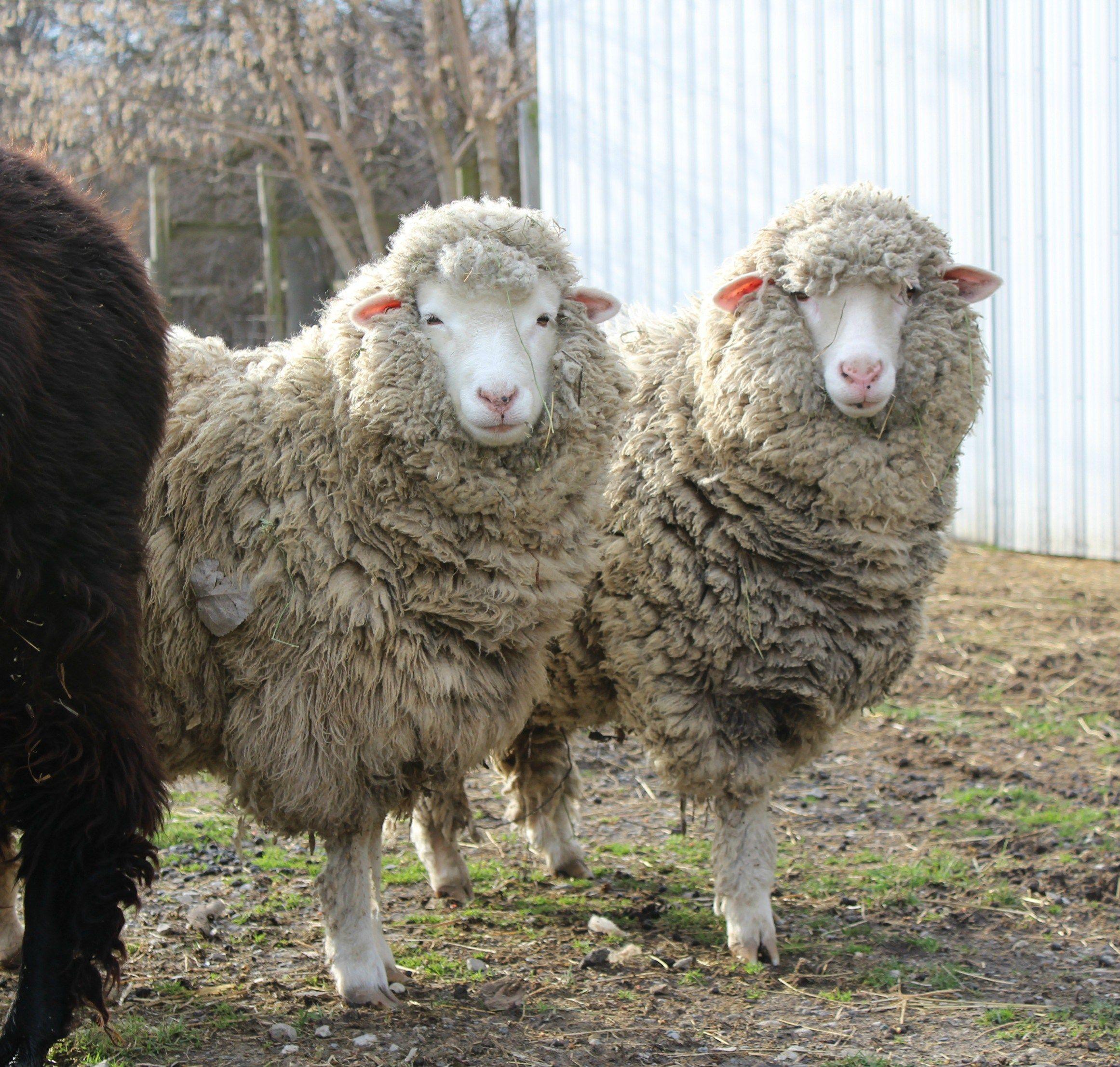 cormo ewe sheep wool fleece fiber farm anytime farm pinterest
