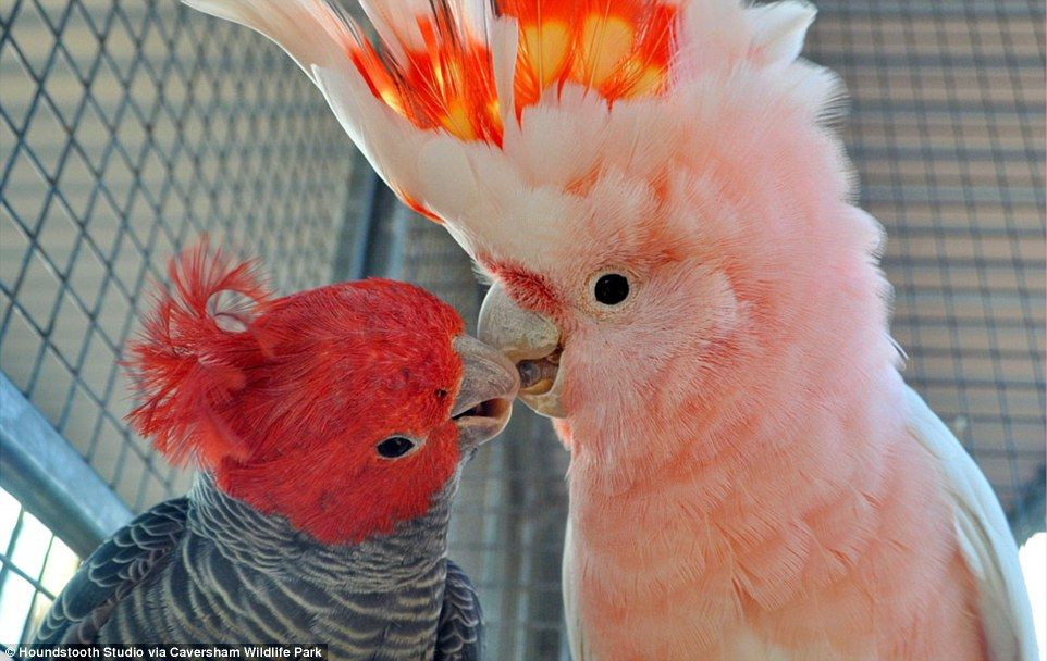Gangis The Gang Cockatoo Of Caversham Wildlife Park In Western Australia And His Buddy Clyde Showcase An Extremely Cute Example Animal Friendship