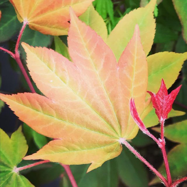 Mendocino Maples Nursery | Japanese Maple and Acer Specialists