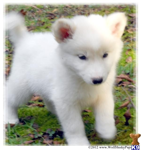 Solid White Hybrid Puppies In Nc Ready Now 416638 Wolf Puppies For Sale Wolf Dog Puppy Wolf Dog
