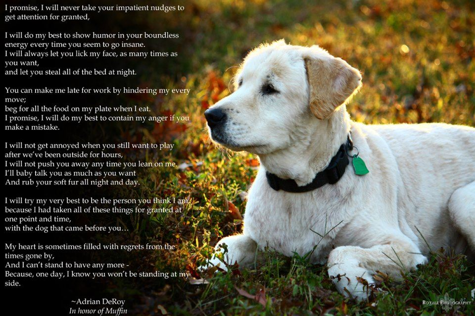 Why Does My Golden Retriever Bark Howl Or Whine At Night Golden Retriever Online Dog Training Golden Retriever Puppies Funny
