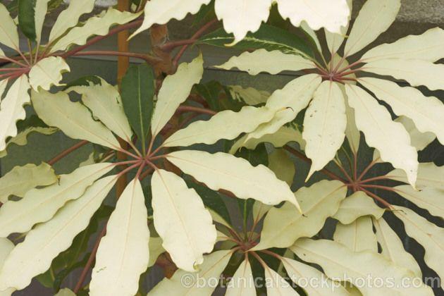 Schefflera pueckleri 39 variegata 39 syn tupidanthus - Schefflera variegata ...