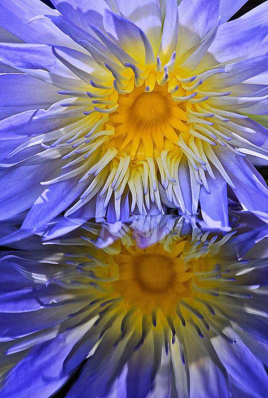 "Waterlily Reflection. Cape Blue Water Lily, ""Nymphea capensis zanzibariensis"""