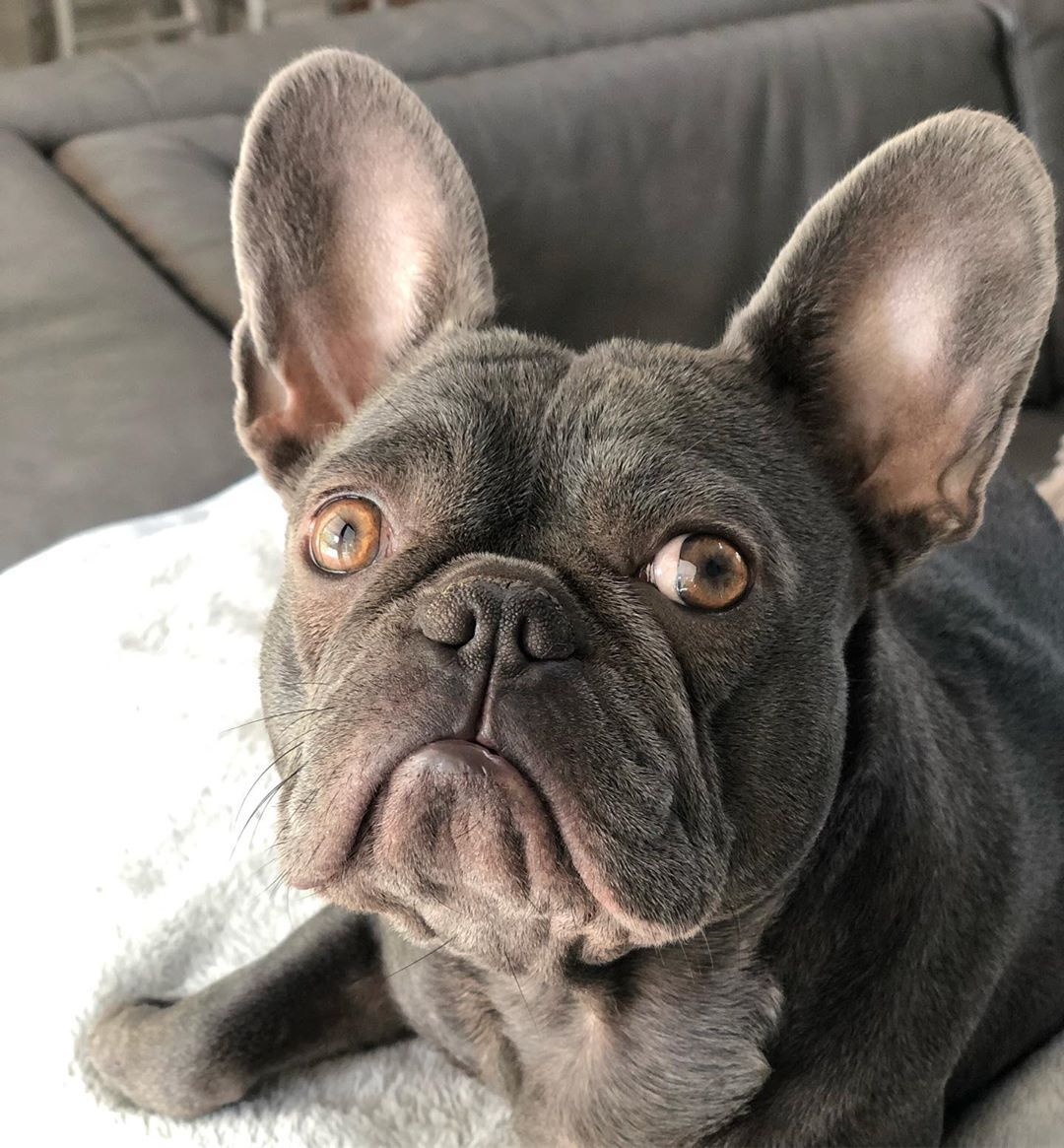 Frenchie Frenchies Frenchiepuppy Frenchbulldog
